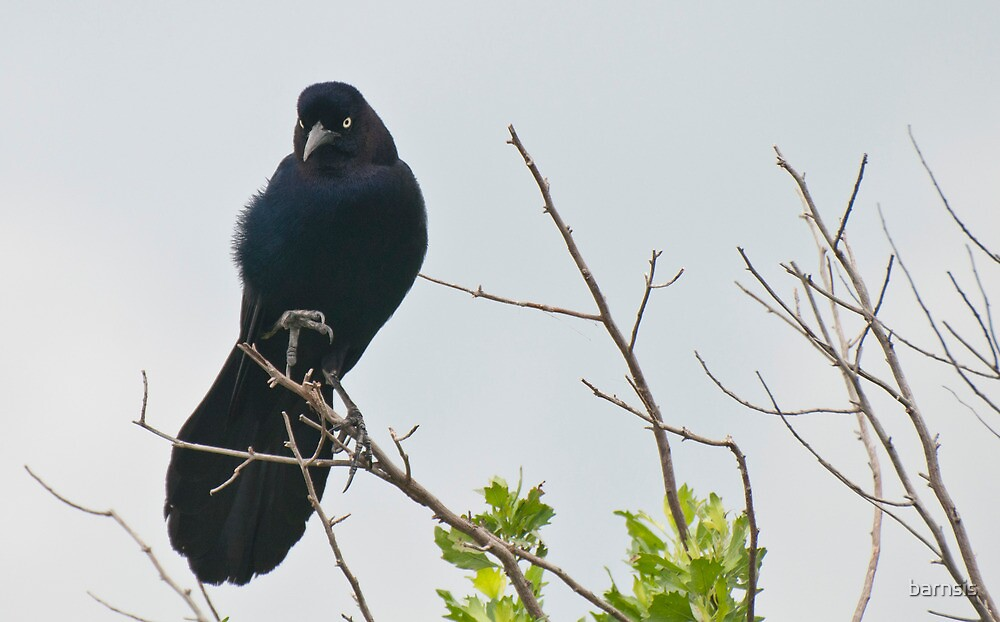 Boat-tailed Grackle by barnsis