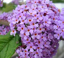 Wild Buddleia by lezvee