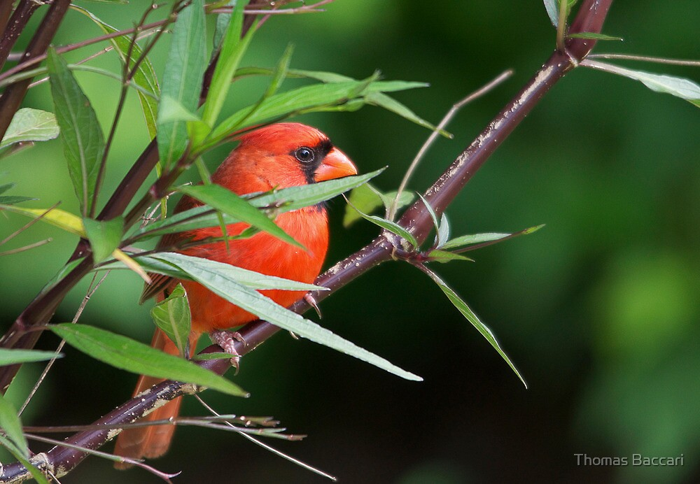 Cardinal in the Woods by Photography by TJ Baccari