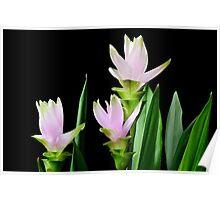 Curcuma flowers on black background Poster