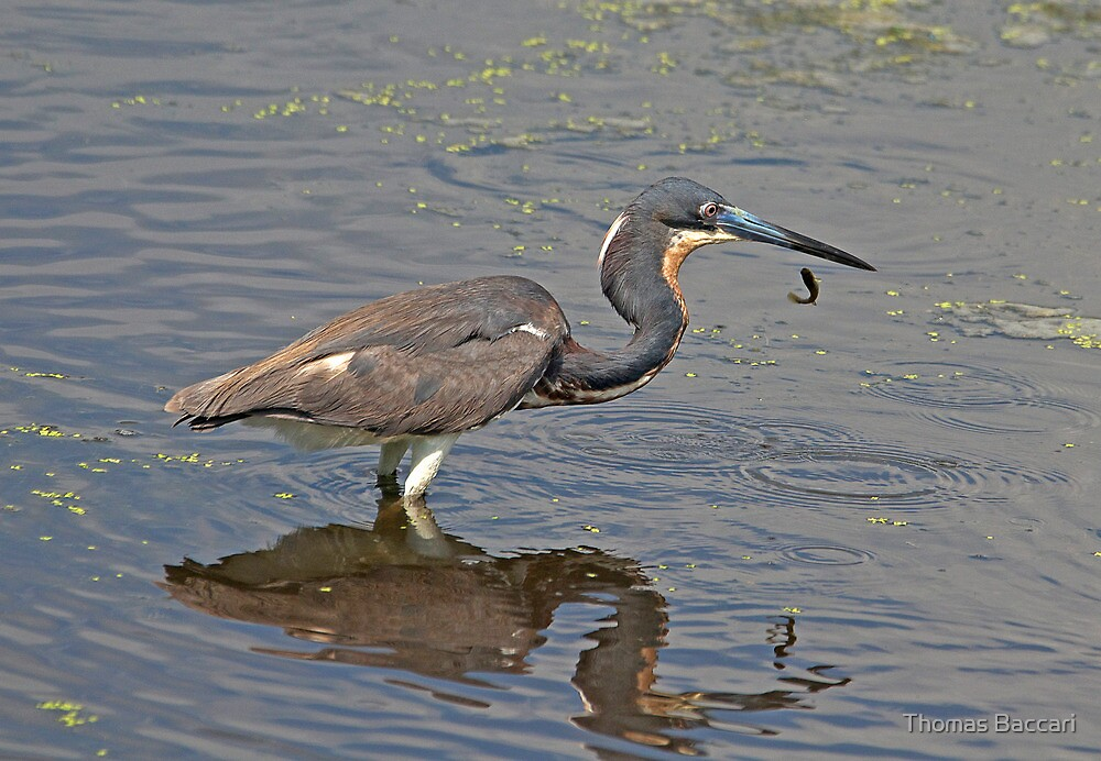 Tri-Colored Heron Drops Fish by TJ Baccari Photography