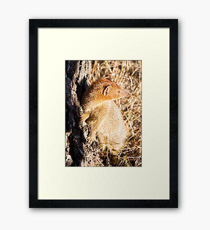 Slender Mongoose  Framed Print