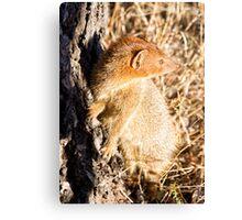 Slender Mongoose  Canvas Print