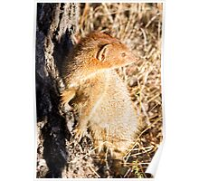 Slender Mongoose  Poster