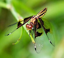 Yellow Spotted Dragonfly  - (Diplacodes ???)   - Anja Reserve Madagascar by john  Lenagan