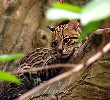 Ocelot Jungle by tigerwings
