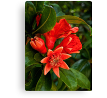 Pomegranate blossoms in four stages Canvas Print