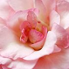 pure rose by lucyliu