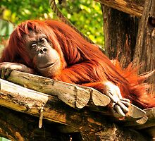 Orangutan lazing on a sunny afternoon by amira