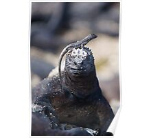 Lava Lizard on the head of a Marine Iguana Poster