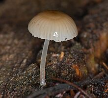 Tiny fungii with almost transparent stem by Ron Co