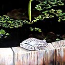 CHILLIN' AT THE LILY POND by © Linda Callaghan