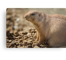Prairie Dog Metal Print