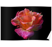 Rainbow Rose! Poster