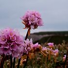 Coastal Thrift by rubyrainbow