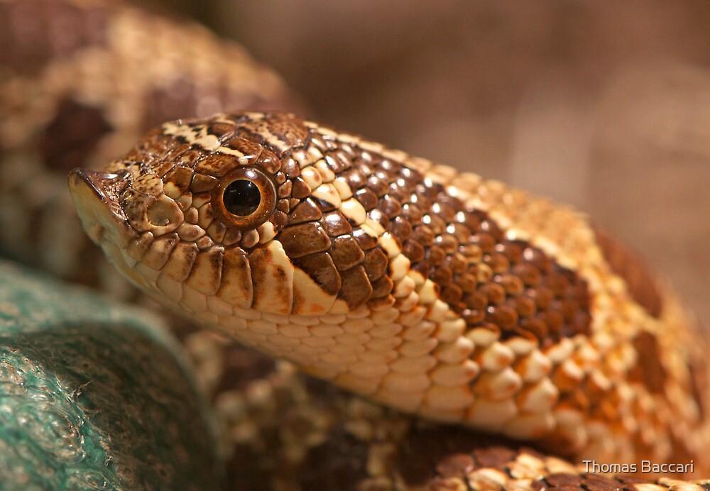 Hognose Snake by TJ Baccari Photography