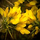 Gorgeous Gorse by rubyrainbow