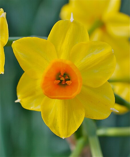 Jaunty Jonquil by Penny Smith