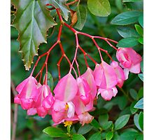 Begonia Bunch Photographic Print