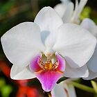 Perfect Phalaenopsis by peasticks