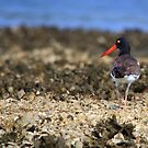 The Oyster Catcher by DHParsons