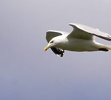 Gull by TinkleBerry