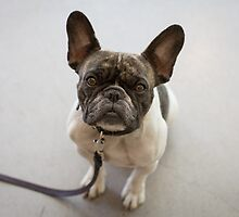 The Patient Boston Terrier by Ben Hansen