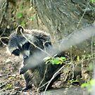Raccoon by Valeria Lee