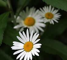 Wetland Daisies by marybedy