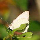 A florida White Butterfly by jozi1