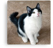 Fluffy Black and White Cat Canvas Print