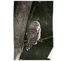 Barred Owl Forest Hike Poster