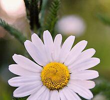 Daisy by JEZ22