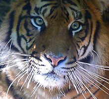 Sumatran Tiger Whiskers by Margaret Saheed