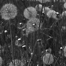 Dandelions by Lou Wilson