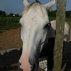 Gray Gelding at the Fence by Liz Staley