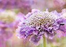 purple frills by Teresa Pople
