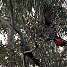Red Tailed Black Cockatoos by mncphotography