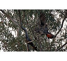 Red Tailed Black Cockatoos Photographic Print