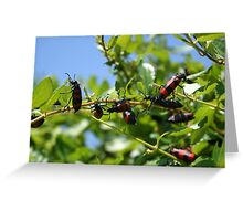 A Swarm of Red and Black Blister Beetles on Honeysuckle. Greeting Card