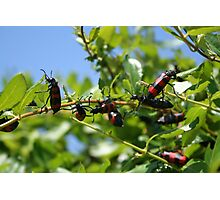 A Swarm of Red and Black Blister Beetles on Honeysuckle. Photographic Print