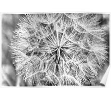 Dandelion in B/W Poster