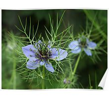 Love-in-a-mist Poster