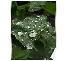 Dew on Lady's Mantle Poster