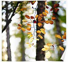 Autumn Leaves, Footpath to the Three Brethren, Scottish Borders Poster