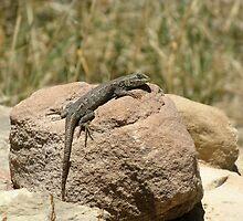Eastern Fence Lizard, Sceloporus undulatus by Patrick Bate