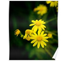 yellow camomile Poster