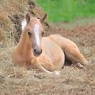 Little Filly by pdsfotoart