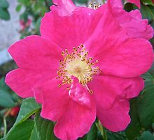 Governor General's Rose  by Shulie1