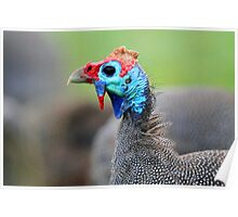 A Helmeted Guinea Fowl Poster